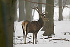 Kronhjort i vinterklædt skov - Red deer in winter forest