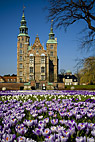 Kongens Have - Crocus flowers in the lawn in front of Rosenborg castle
