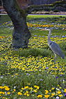Fiskehejre i blomsterplænen - Great Heron standig in the flower lawn