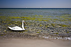 Svane i grumset vand - Swan in polluted water