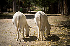 To hvide æsler smager på deres egen skygge - Two white donkeys tasting their own shadows