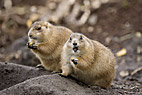 To præriehunde - Two Black tailed Prairie Dogs
