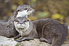 Asiatisk dværg oddere - Oriental small clawed Otters