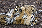 To tigerunger - Two Bengal Tiger cubs
