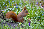 Rød egern - Red squirrel