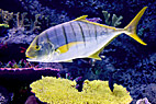 Gul hestemakrel - Golden trevally