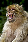 Berberaben - Roaring Barbary Macaque monkey from France Alsace Kintzheim