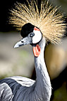 Afrikansk trane - Grey Crowned Crane from Uganda