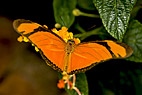 Julias Flamme sommerfugl - Julia Butterfly