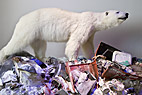 Isbjørn på losseplads - Polar bear at the landfill site