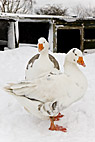 To fede gæs i sne - Two fat farm geese in the snow