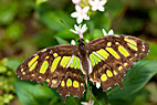 Sommerfugl - The Malachite butterfly (Siproeta Stelenes)