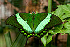 Sommerfugl - The Emerald Swallowtail butterfly (Papilio palinurus)