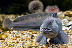 Havkat - Atlantic wolf-fish, Catfish (anarhichas lupus)